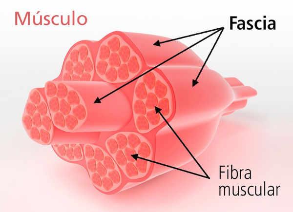 Estructura del músculo fascial