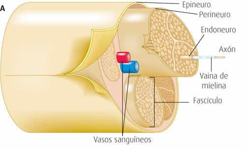 Los nervios tienen un componente elástico que les permite soportar tensión, estiramientos y alargarse a su paso por las articulaciones.