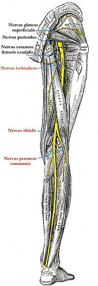 Tratamiento con fisioterapia para el Síndrome-del-Piramidal-o-Piriforme. La falsa ciática