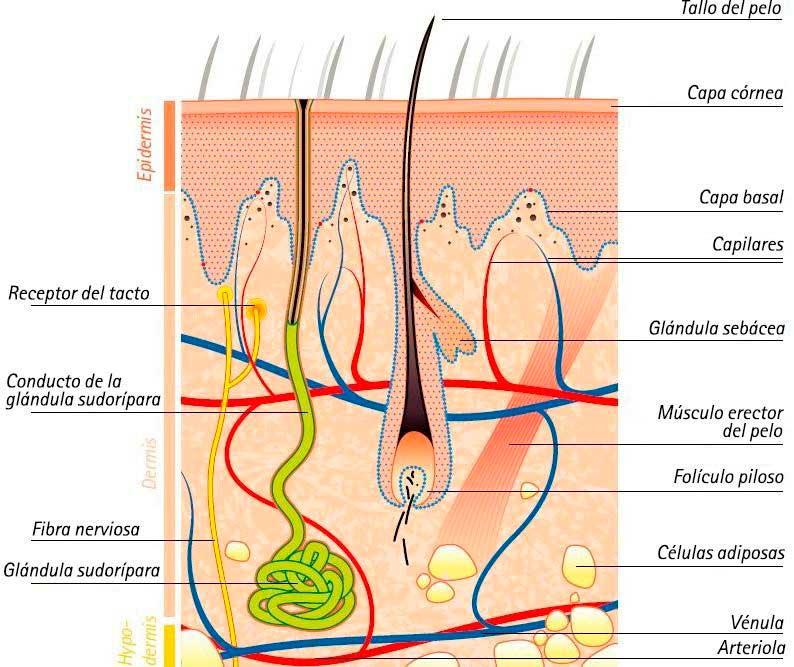 En la iontoforesis los iones activos atraviesan la piel a través de los orificios de las glándulas sudoríparas, sebáceas y folículos pilosos