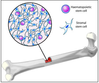 ¿Donde se encuentran las células madre?